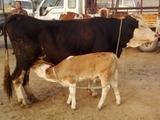 莱州海福特牛