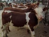 莱州西门塔尔牛